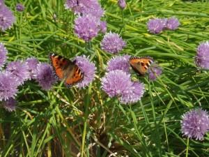 papillons sur ciboulette