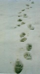 traces de pattes d'ours