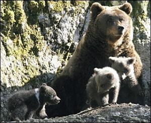 ourse et ses petits