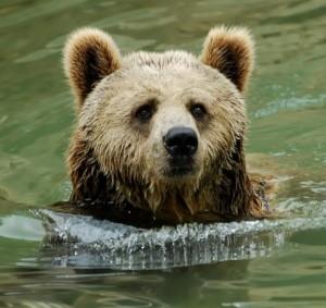 Ours au bain