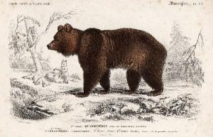 L'Ours des Pyrénées, Ursus arctos.Gravure