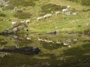 moutons sur les estives
