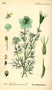 15 Nigella arvensis