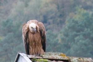 Le vautour de Seix