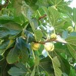 Ficuscarica Panascè