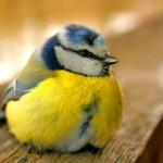 Parus caeruleus ou mésange bleue