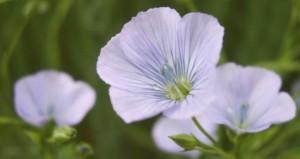 Fleur de lin