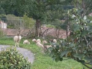 Soulan. Moutons paissant librement (communaux)