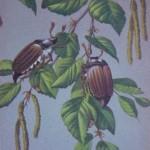 Hannetons sur branche de noisetier