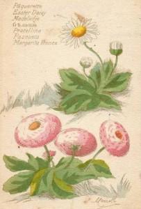 La pâquerette des jardiniers