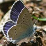 Papillon Argus-minime