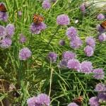Multiples papillons sur fleurs de ciboulette