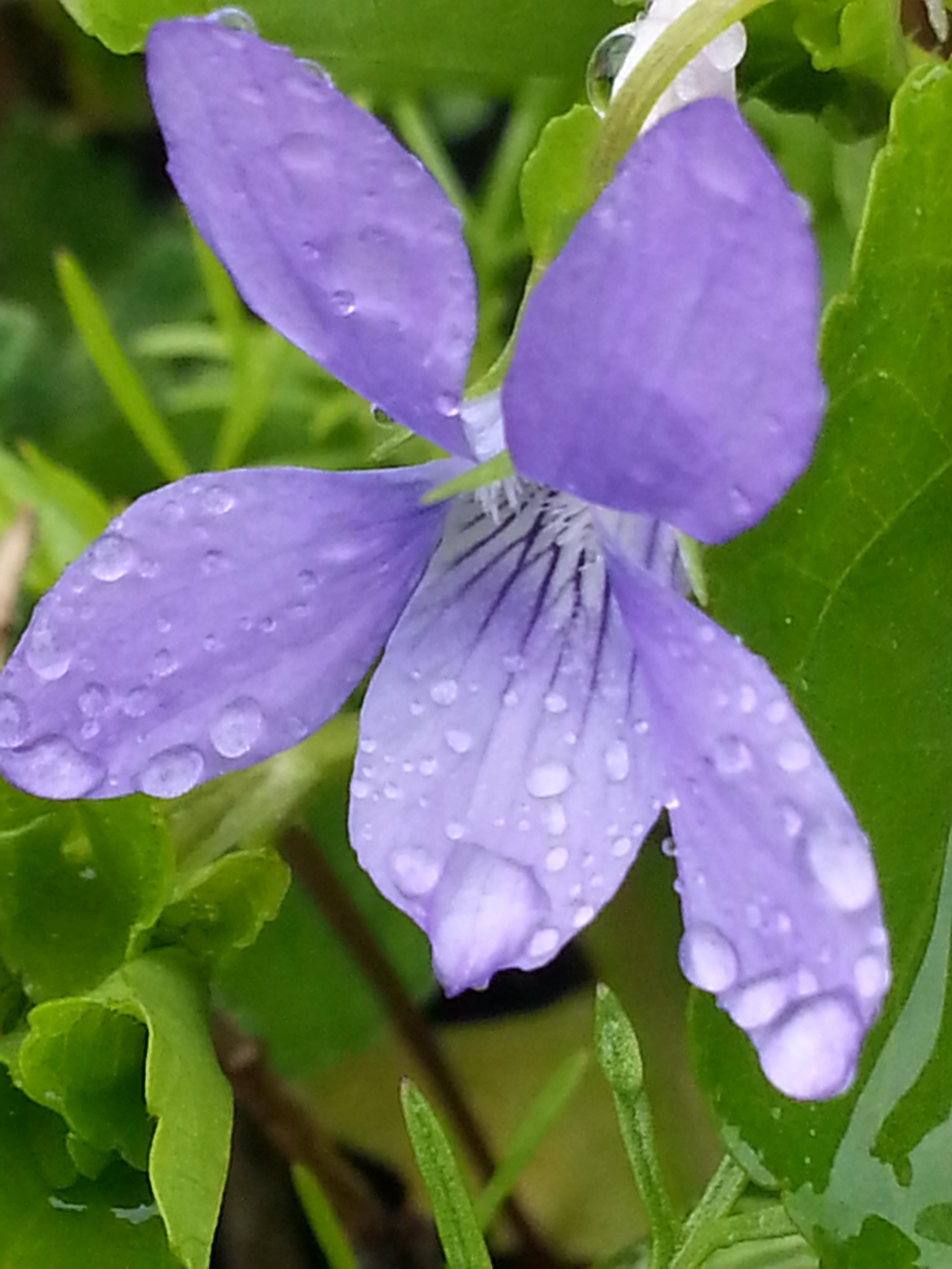 Fleurs des champs v comme violette site de l - Image fleur violette ...