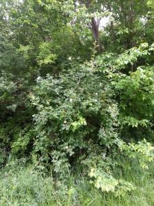 Buisson d'églantiers