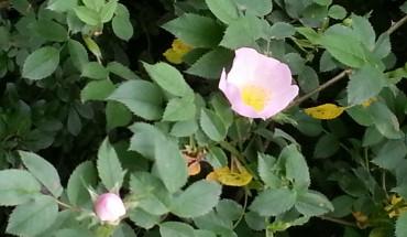 fleur d'églantine