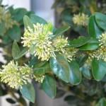 Le buis commun. Buxus sempervirens. Les fleurs