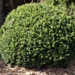 Art topiaire.Buxus sempervirens.