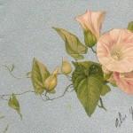 Liseron rose, carte postale ancienne