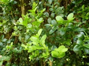 Le buis commun, Buxus sempervirens