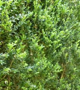 Le buis commun. Buxus sempervirens