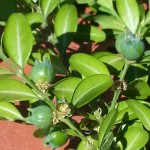 Le buis commun. Buxus sempervirens. Les fruits