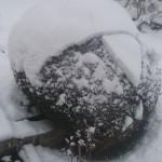 Buis boule sous la neige