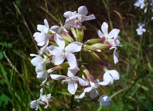Saponaire officinale, Saponaria officinalis
