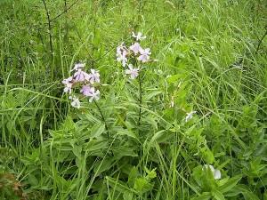 Saponaria-officinalis-plant