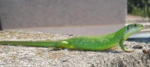 Lézard vert, Lacerta bilineata