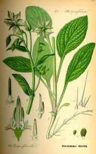 Bourrache, borrago officinalis