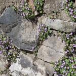 Cymbalaria-muralis
