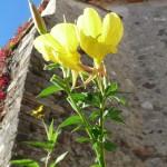 Onagre, Oenothera biennis