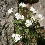 Cardamine_resedifolia