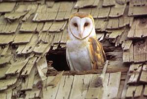 Effraie des clochers Tyto alba
