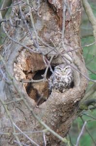 Chevêche d'Athéna Athene noctua Little Owl