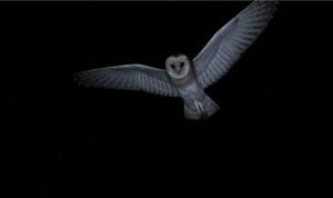 Effraie en vol nocturne
