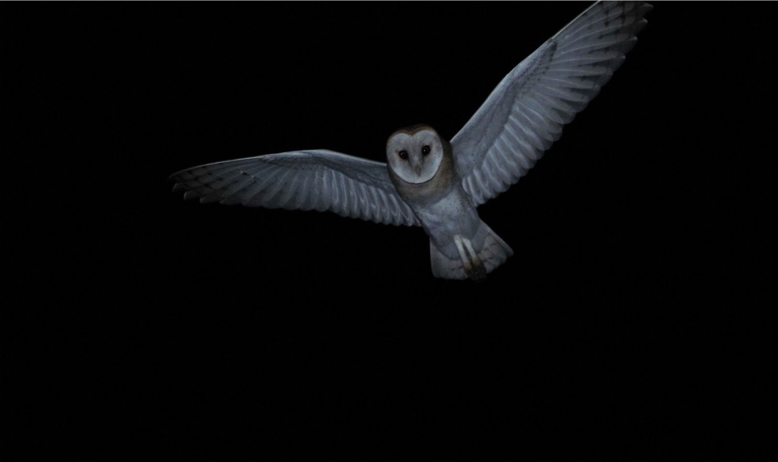Chouettes Et Hiboux Tytonidae Et Strigidae 1 L Effraie Des Clochers Tyto Alba Site De L