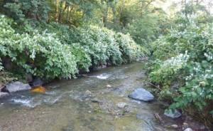 La Renouée du Japon, Renoutria japonica
