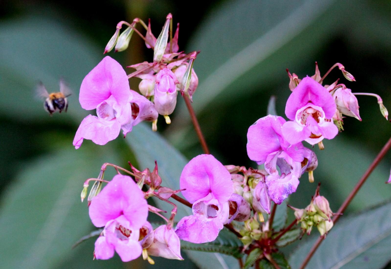 Les plantes invasives (1). La Balsamine de l'Himalaya, Impatiens glandulifera | - Site de l ...
