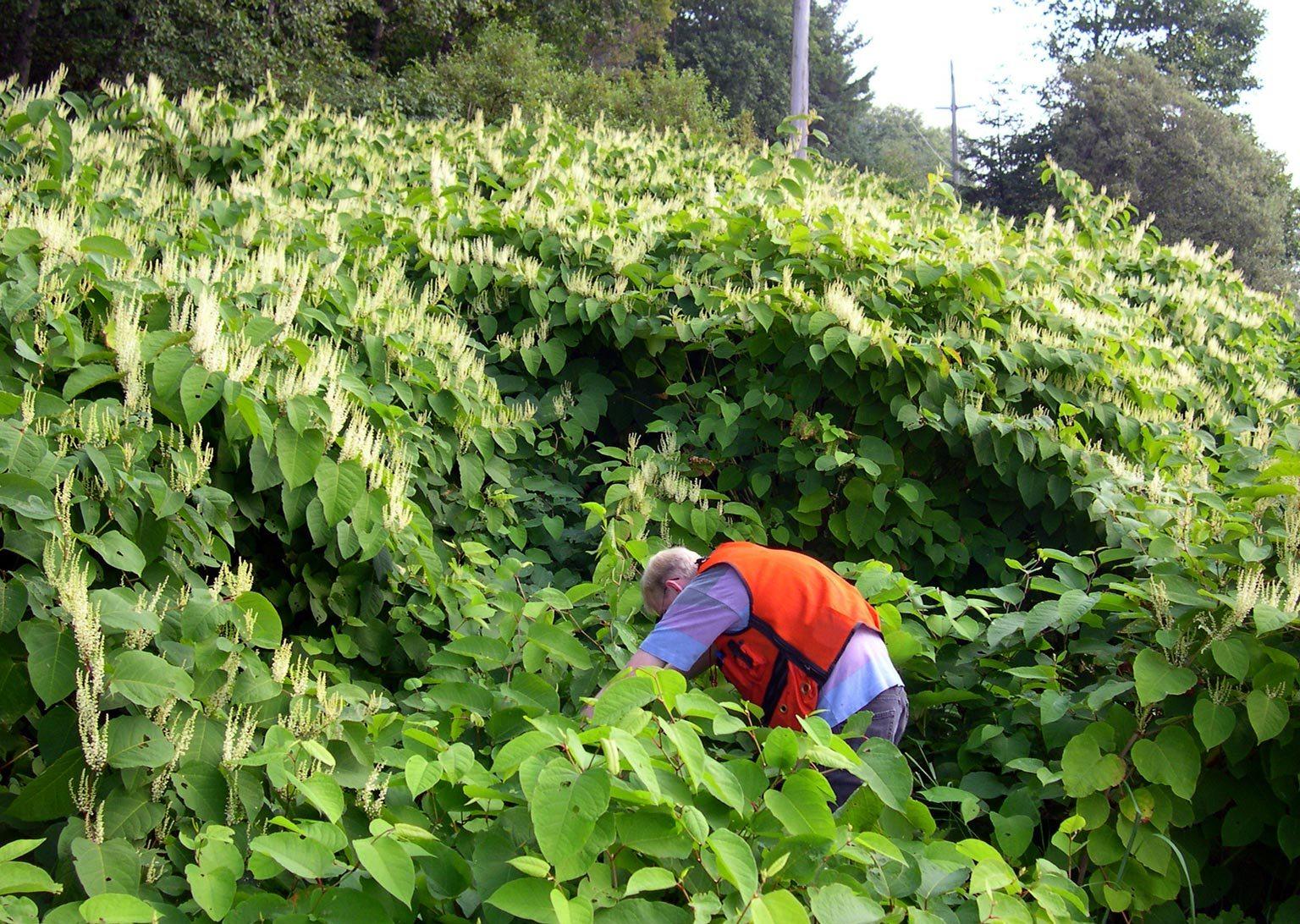 Les plantes invasives 2 la renou e du japon renoutria for Plante japonaise