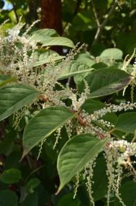 Renouée du Japon, Renoutria japonica