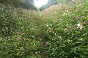 La Balsamine de l'Himalaya, Impatiens glandurifera