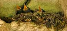 Les rouges-queues noirs