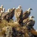 Vautours sur la falaise