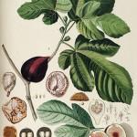 Ficuscarica. Figuier