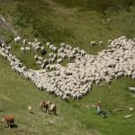 Moutons sur l'estive d'Areou