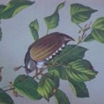 Hanneton sur branche de noisetier