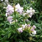Saponaria officinalis, Saponaire