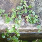 Cymbalaria muralis. Grappes pendant dans le lavoir