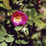 Rosa_alpina